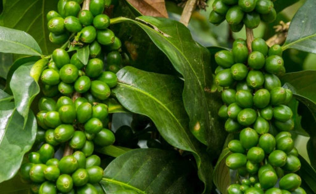Cafeína é saudável e deve ser incluída na dieta